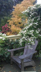 Sweet Autumn Clematis Gracing the Fall Garden