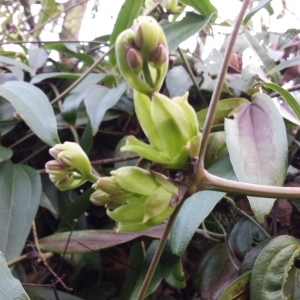 Emerging flower buds on Clematis armandii