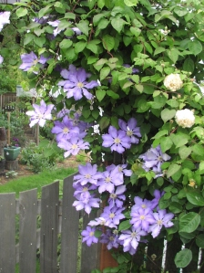 Clematis 'Will Baron' with Rosa 'Buff Beauty' in June