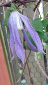 Clematis alpina 'Blue Dancer', the first to Bloom!