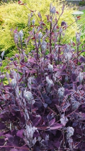 Oh, the rich purple leaves of C. recta purpurea!