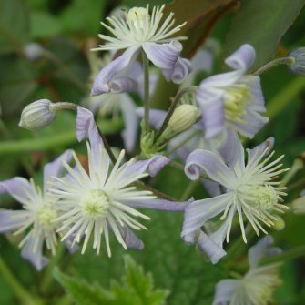 clematis sugar sweet blue clematis in seattle. Black Bedroom Furniture Sets. Home Design Ideas