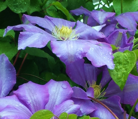 Clematis Will Baron -- May Clematis of the Month
