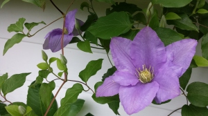 Clematis Cezanne