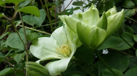 April's Clematis of the Month:  C. Guernsey Cream
