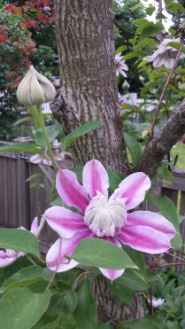 Clematis Josephine -- the Other Contender
