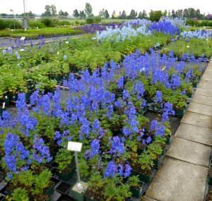 Sales Area -- check out those delphiniums!