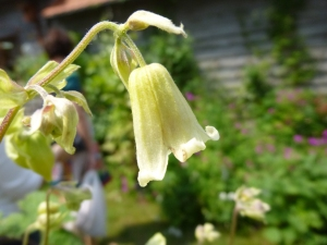 First time I laid eyes on Clematis connata in bloom