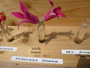Clematis Princess Diana on display
