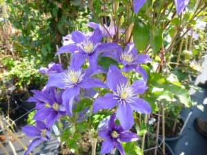 Clematis in Van Zost display