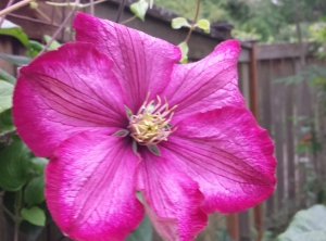 The Early First Flower of Clematis Ville de Lyon