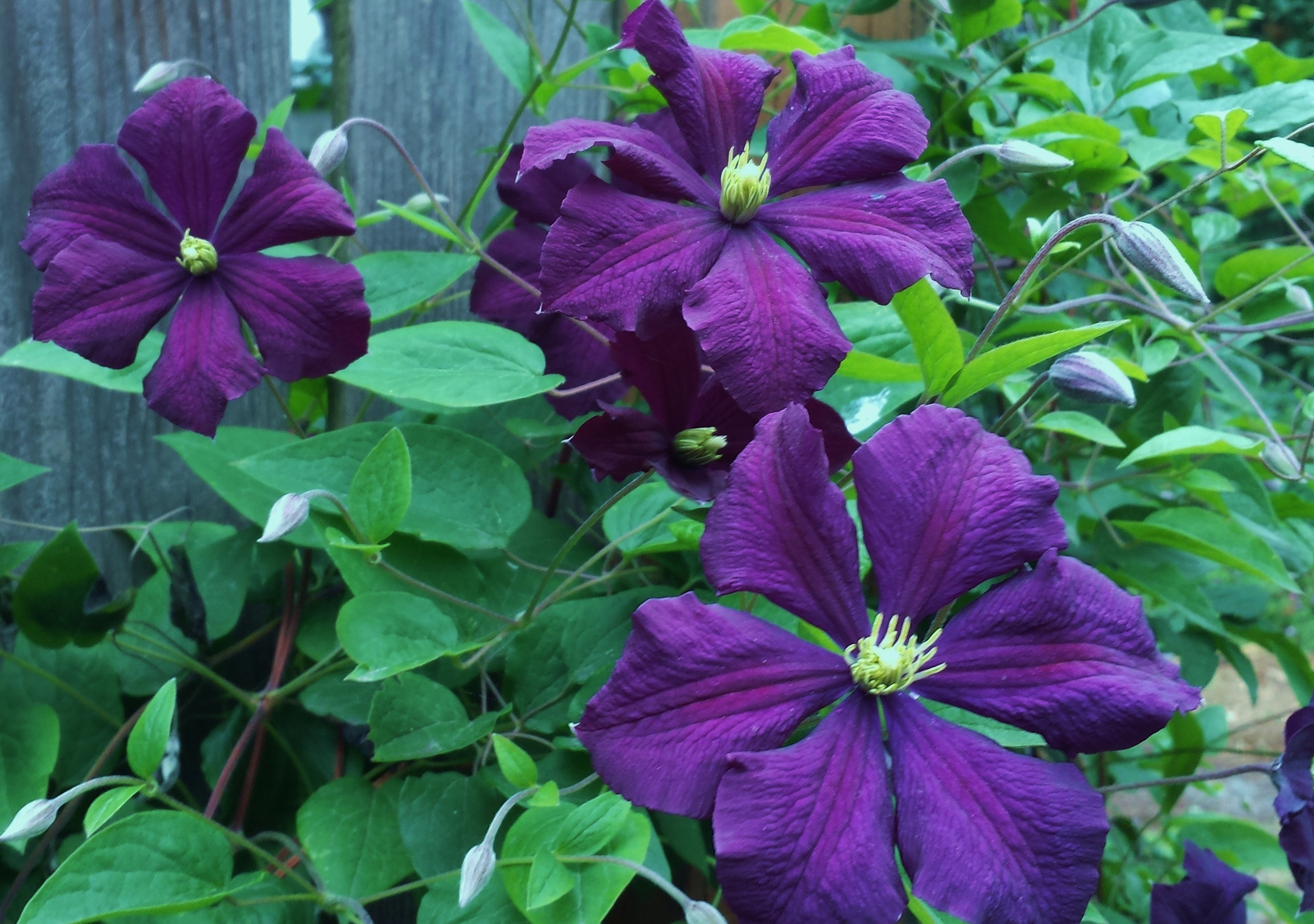 clematis etoile violette clematis in seattle. Black Bedroom Furniture Sets. Home Design Ideas