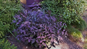 Gorgeous Plum Purple Leaves in July