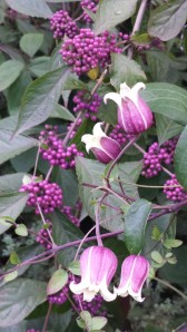 C. viorna still blooming in October, color-coordinating itself with the purple beauty berry.