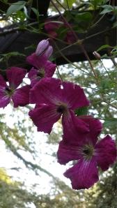 C. Kermisina blooming as expected--in August.