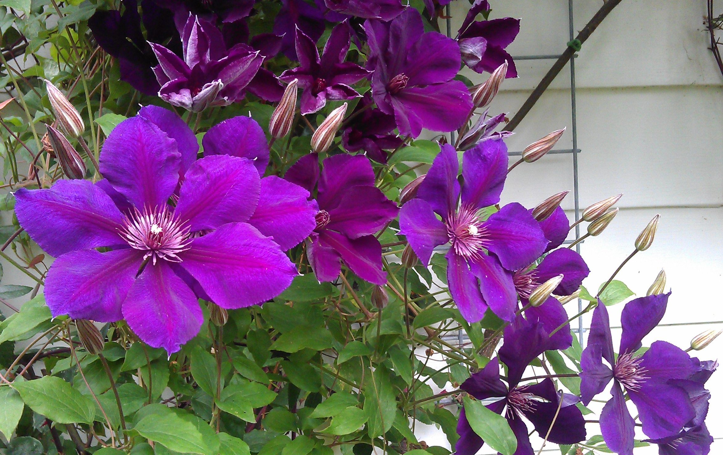 Clematis betty corning clematis in seattle - Clematis viticella ...