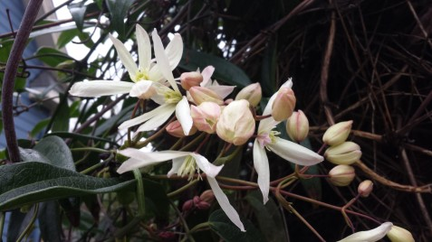 C. armandii blooming in Seattle in early February