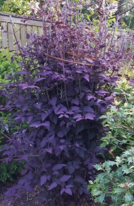 The gorgeous purple leaves of C. recta purpurea, nearly 6' tal!