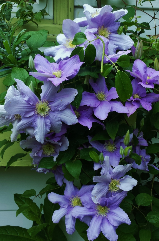 May Winner--Clematis Cezanne adorning an oversized windowbox.