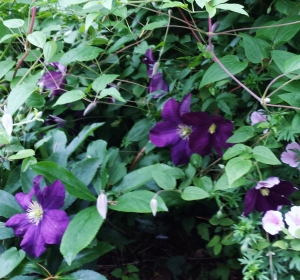 Already the first blooms of Clematis Etiole Violette, which normally blooms for me late June to early August!