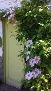 Clematis Fair Rosamond gracing a doorway.
