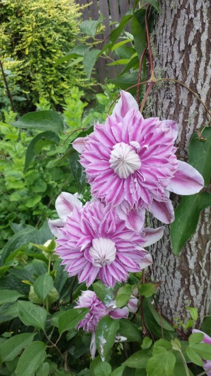 The delectable double blossoms of Clematis Josephine