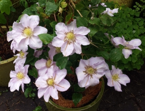Clematis Louise Rowe