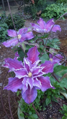 Clematis Tartu made a comely comeback after wilting last year!