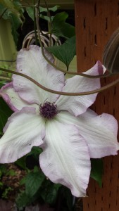 Clematis Utopia, which is similar to Omoshiro above and another lovely clematis I covet, Clematis Fond Memories (no photo here)