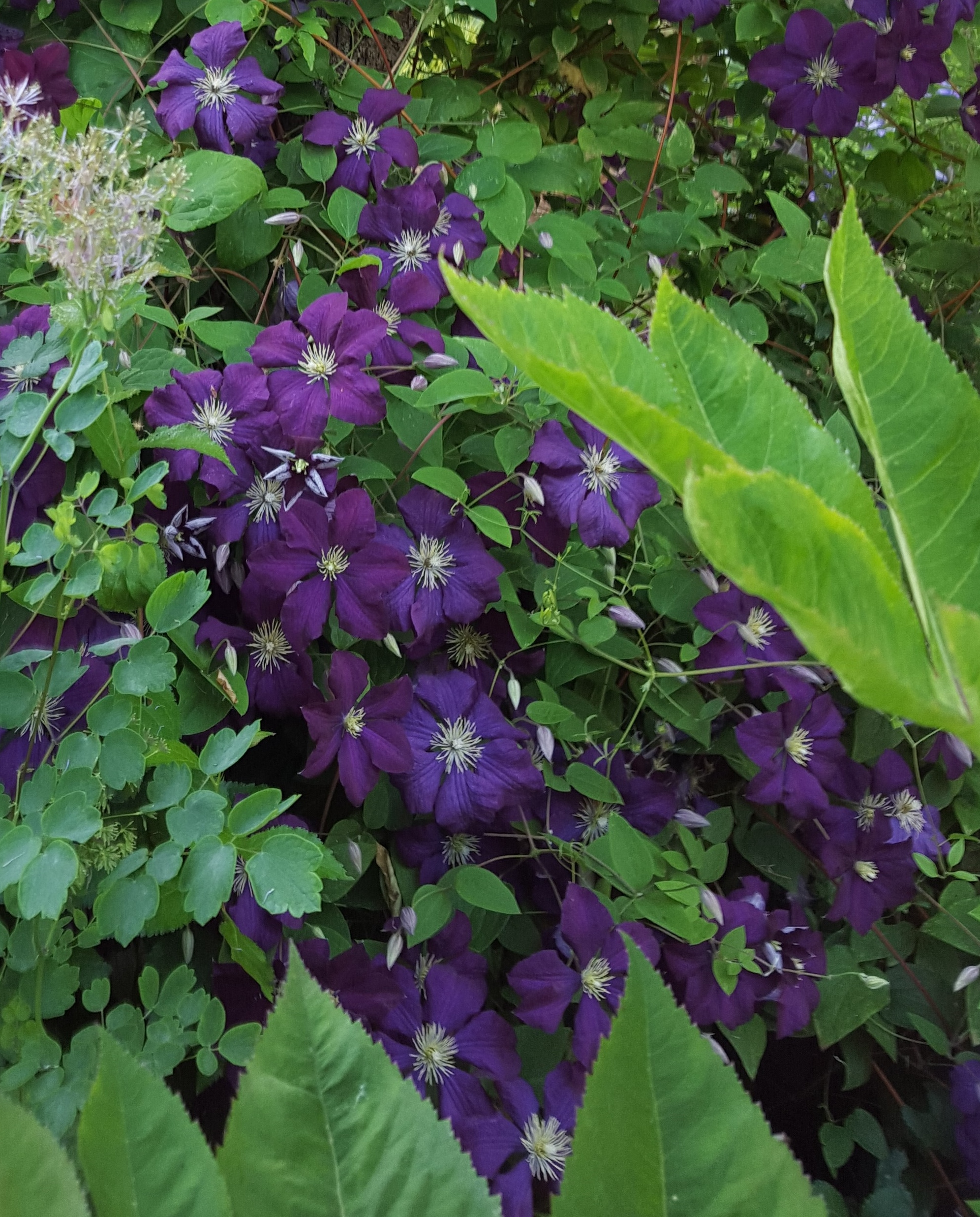 Clematis in seattle - Clematis viticella ...