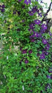 C. Etoile Violette         North Side