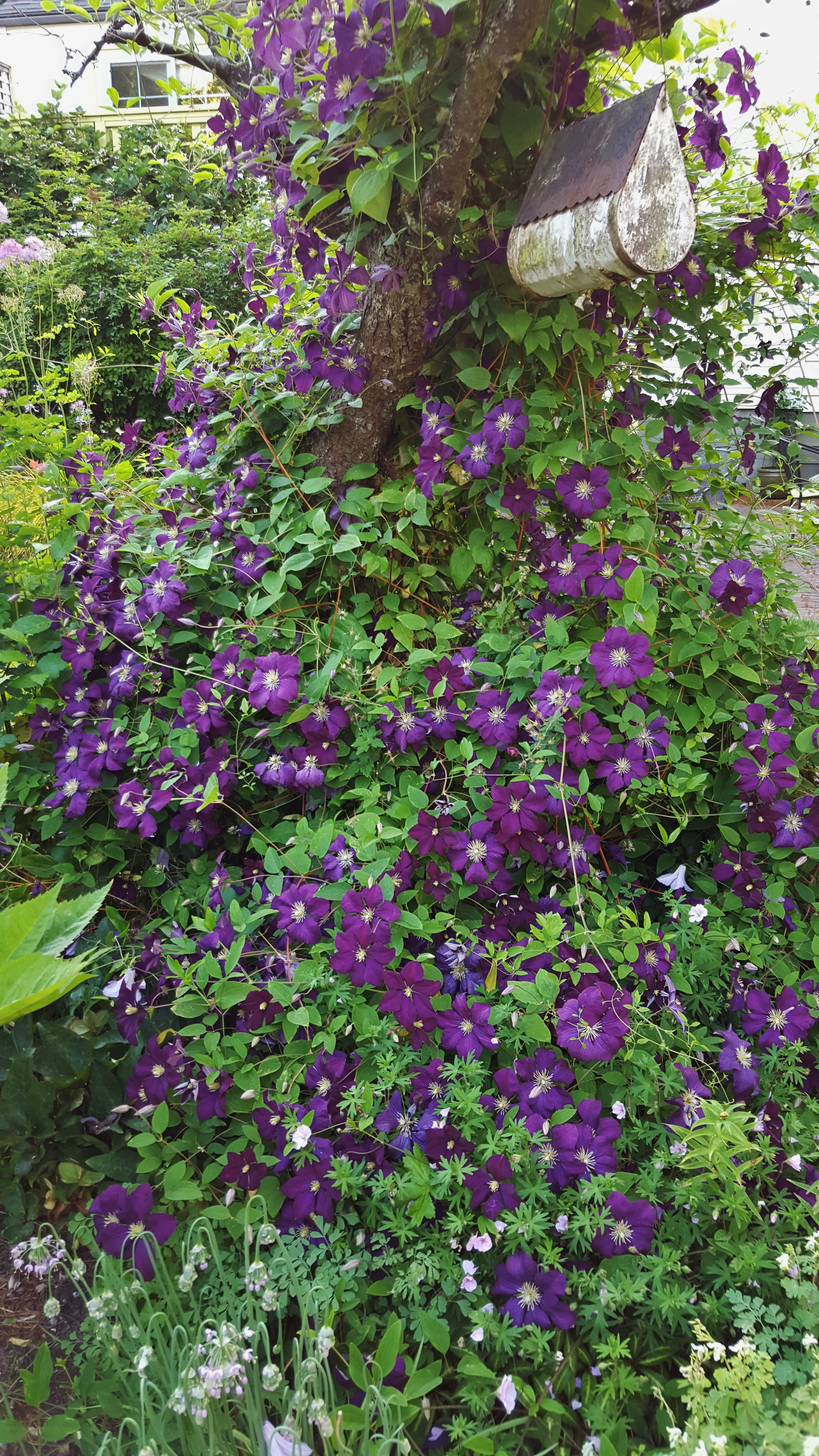 clematis of the month clematis in seattle. Black Bedroom Furniture Sets. Home Design Ideas